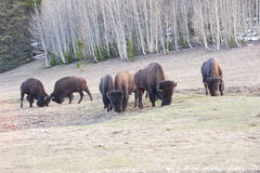 Rutting and butting buffalo. Wild bufalo butting heads while others graze native grasses Stock Images