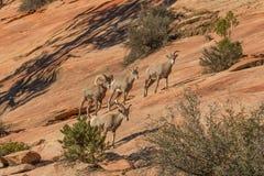 Rutting Desert Bighorn Herd Royalty Free Stock Photo