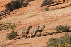 Rutting Desert Bighorn Ram and Ewes Royalty Free Stock Photography