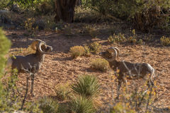 Rutting Desert Bighorn Rams Face Off. A pair of desert bighorn sheep rams in Zion National Park Utah during the fall rut Stock Image