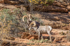 Rutting Desert Bighorn Rams. A pair of desert bighorn sheep rams in Zion National Park Utah during the fall rut Royalty Free Stock Photo