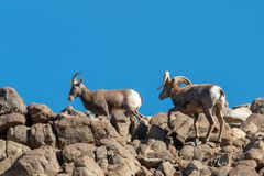 Rutting Desert Bighorn Sheep. A desert bighorn sheep ram and ewe in the fall rut royalty free stock images
