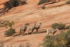Rutting Desert Bighorn Sheep Herd Royalty Free Stock Photo