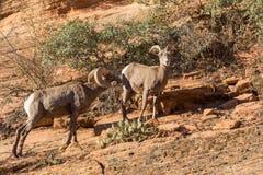 Rutting Desert Bighorn Sheep. A desert bighorn sheep ram and ewe in the fall rut stock photography