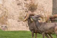 Rutting Desert Bighorn Sheep Rams. A band of desert bighorn sheep rams during the rut Royalty Free Stock Images