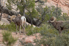 Rutting Desert Bighorn Sheep Rams. A pair of desert bighorn sheep rams in Zion National Park Utah during the fall rut Royalty Free Stock Photos