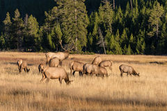 Rutting Elk Royalty Free Stock Photo