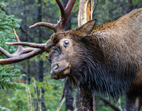 Rutting Elk. Rutting bull elk in the Rocky Mountains of Colorado Royalty Free Stock Image
