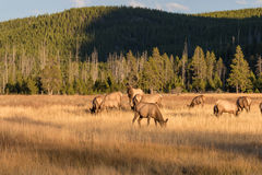 Rutting Elk Herd Royalty Free Stock Photo