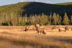 Rutting Elk Herd Royalty Free Stock Photo