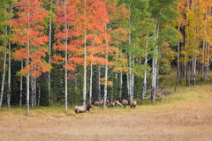 Rutting Elk Herd. A nice bull elk with his cows during the rut in a scenic mountain meadow Stock Photography