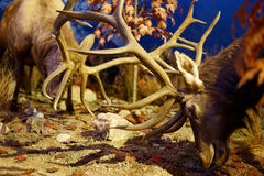 Rutting elk males lock antlers Stock Photo