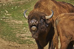 Rutting European bison male Stock Image