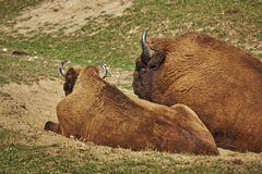 Rutting European bison pair. Pair of European bison (Bison bonasus) bull and cow resting together during rutting season Stock Photography