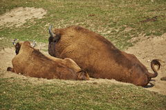Rutting European bison pair Royalty Free Stock Photo