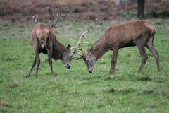 Rutting jelenia czerwonego rogacza Anglia Cervus dziki elaphus Zdjęcia Royalty Free