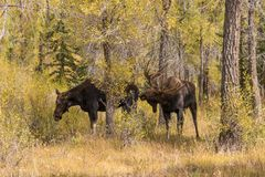 Rutting Moose in Autumn Stock Image