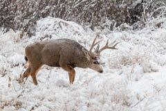 Rutting Mule Deer Buck in Snow Stock Image