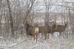 Rutting Mule Deer in Snow Stock Photos