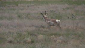 Rutting Pronghorn Antelope Buck. A nice pronghorn antelope buck on the prairie stock video footage