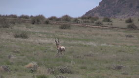 Rutting pronghorn antelope. A group of pronghorn antelope in the rut on the prairie stock video