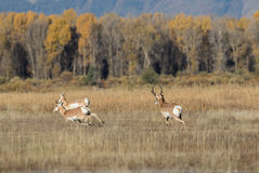 Rutting Pronghorn Antelope Royalty Free Stock Photography