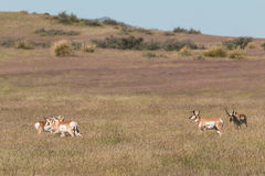 Rutting Pronghorn Antelope Stock Photo