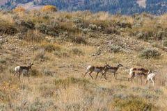 Rutting Pronghorn Antelope Herd Royalty Free Stock Photos