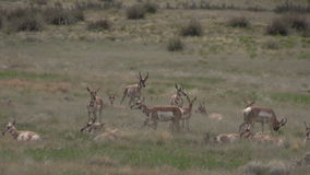 Rutting pronghorn antelope herd. A group of pronghorn antelope in the rut on the prairie stock video