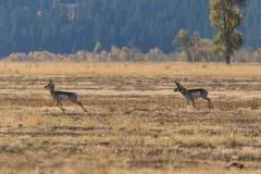 Rutting Pronghorn Buck και έλαφος Στοκ Εικόνες