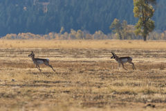 Rutting Pronghorn Buck and Doe Stock Images