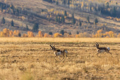 Rutting Pronghorns in Wyoming Stock Images