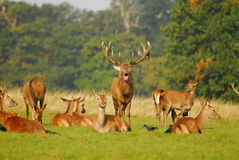 Rutting Season. Stag in Richmond park near London battle for dominance of the females at the start of the October Rutting season royalty free stock photos