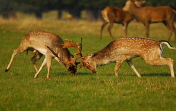 Rutting Season. Stag in Richmond park near London battle for dominance of the females at the start of the October Rutting season stock image