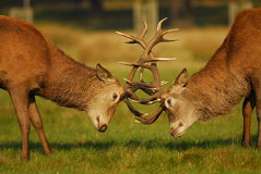 Rutting Season. Stag in Richmond park near London battle for dominance of the females at the start of the October Rutting season royalty free stock image
