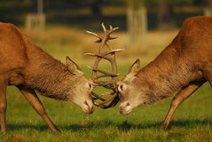 Rutting Season. Stag in Richmond park near London battle for dominance of the females at the start of the October Rutting season royalty free stock photography