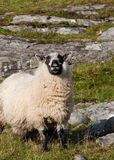 Rutting sheep Royalty Free Stock Photography