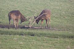 Rutting Stags Royalty Free Stock Images