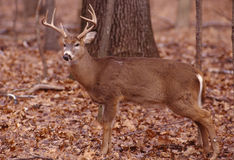 Rutting whitetail buck Stock Photography