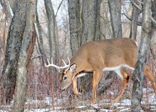 Rutting Whitetail Buck Stock Photos