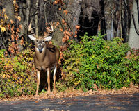Rutting Whitetail Deer Buck Royalty Free Stock Image