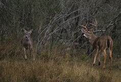 Rutting Whitetailed Buck and Doe Royalty Free Stock Photo