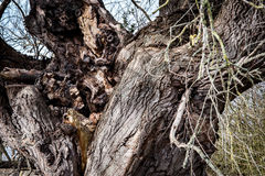 Ruttna bunken av ett stort träd Arkivfoton