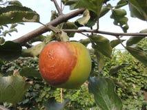 ruttna för äpple arkivbilder