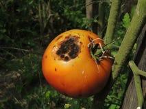Ruttna tomaten i trädgården royaltyfria foton