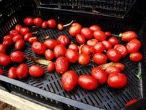 ruttna tomater Arkivfoton