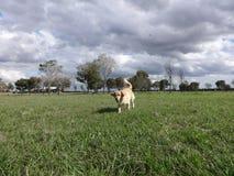ruuning在公园的金毛猎犬 免版税库存图片