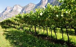 Ruw van wijngaarden Royalty-vrije Stock Fotografie