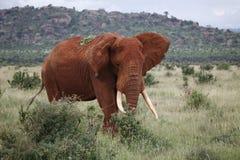 Ruwe Afrikaanse olifant Royalty-vrije Stock Fotografie