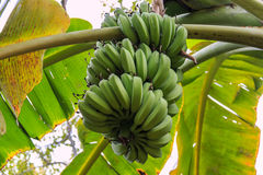 Ruwe bananen Royalty-vrije Stock Afbeeldingen